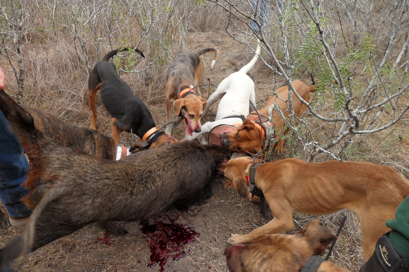 Nov-Dec 11 - Wild Hog Hunting With Dogs
